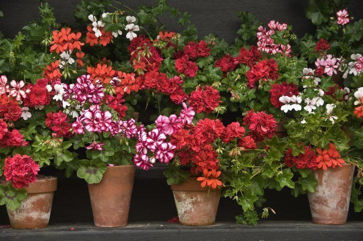 Colorful Geraniums