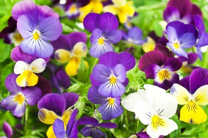 Multicolored Pansies are Cool Weather Flowers