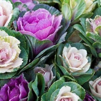 Purple Ornamental Kale