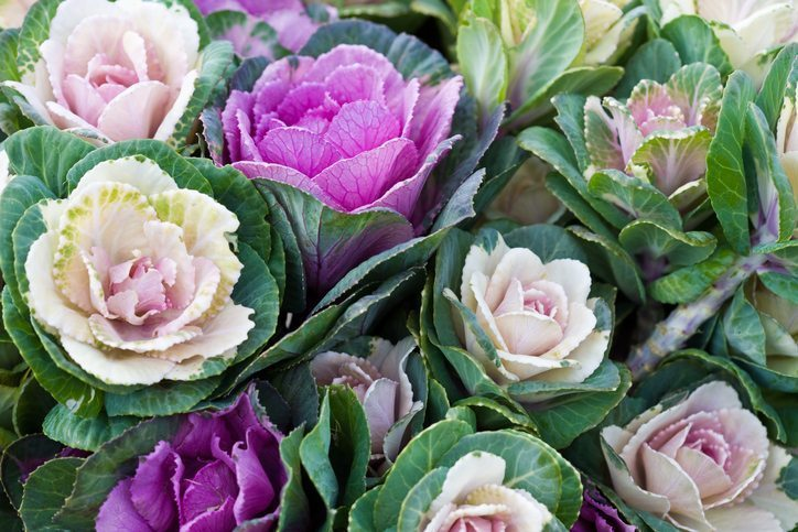 Cool Weather Flowers to Plant this Fall