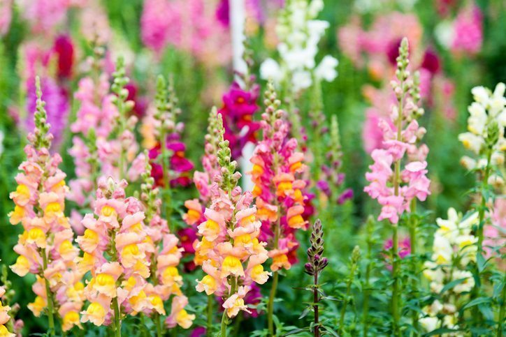 Snapdragons are Cool Weather Flowers