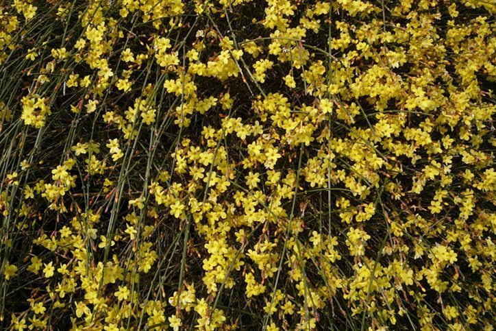 Yellow Winter Jasmine are Cool Weather Flowers