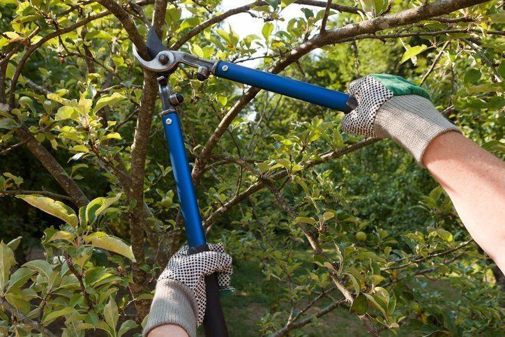 Farmer Pruning Trees